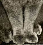 Cat Paws blu britannica fotografia stock libera da diritti