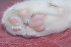 Cat paws. Close up of white cat paws Royalty Free Stock Image