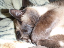 Cat with paws over face. Siamese cat sleeping with paws over face Royalty Free Stock Photography