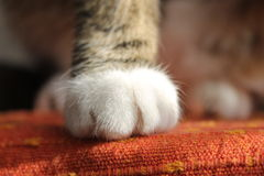 Cat paws. Photo of gray-white cat paws Stock Image