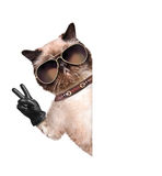 Cat with peace fingers in black leather gloves Stock Images