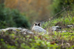 Cat peaking behind rock Royalty Free Stock Images