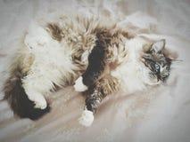 CAT PEDIGRÍ DE LA MUÑECA DE TRAPO QUE PONE EN SU PARTE POSTERIOR Imagen de archivo libre de regalías