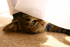 Cat Peeking Stock Photography
