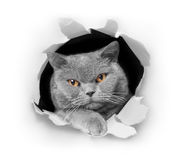 Cat peeking. Out of a paper hole Stock Images