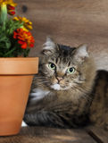 Cat Peeking around Flower Pot Royalty Free Stock Image