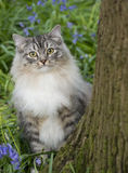 Cat peeking behind tree. With bluebells in background Royalty Free Stock Images