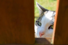 Cat peeking from behind wooden fence. Domestic cat peeking from behind wooden fence and looking at camera Stock Photos