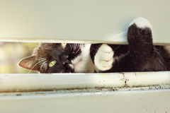 Cat Peeking Through Fence in bianco e nero Fotografia Stock Libera da Diritti