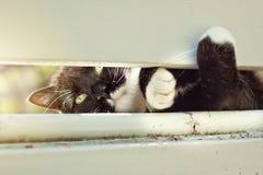 Cat Peeking Through Fence noire et blanche Photographie stock libre de droits
