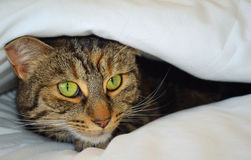 Cat Peeking fora das tampas foto de stock royalty free