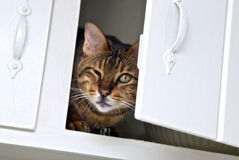 Cat peeking out of cabinet. A full grown adult tiger bengal cat is sitting in a cadinet with the door slightly open stock image