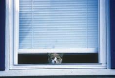 Cat peeking out of window Stock Photo