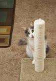 Cat Peeking runt om att skrapa stolpen Arkivbild
