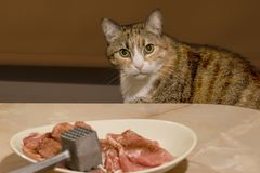 Cat peeking on table, looking at some raw meat in plate stock photography