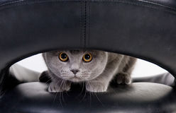 Cat peeping through the hole. Funny Scottish cat peeping through the hole Royalty Free Stock Photo