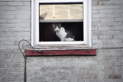 Cat Peering from City Window Stock Photography