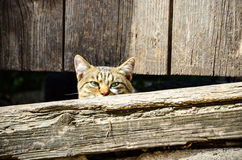 Cat peering out from an old doorway Royalty Free Stock Photo