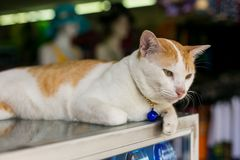 Cat with a pendant. White and red cat with a blue pendant on the neck Royalty Free Stock Photo
