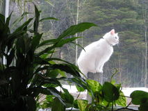 Cat perched outdoors. Curious white cat perched outdoors, plants inside Royalty Free Stock Photos