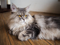 A cat. A persian cat with amber eyes Royalty Free Stock Photos