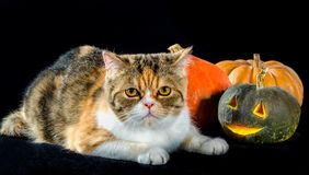 Cat of Persian breed sits next to bright colorful Halloween pump stock photo