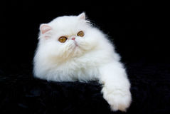 Cat Persian Copper Eyed White. White copper-eyed Persian relaxing on black velvet background Royalty Free Stock Photo