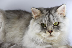 Cat persian. Crossbreed Siberian cat et persian catin front of a white background Stock Images