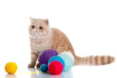 Cat persian exotic cat isolated with balls of different colours Royalty Free Stock Photos
