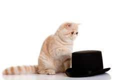 Cat persian exotic kitten with black formal classic hat Stock Photos