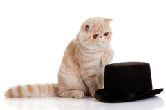Cat persian exotic kitten with black formal classic hat Royalty Free Stock Photography