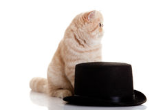 Cat persian exotic kitten with black formal classic hat Stock Photography