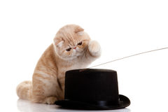 Cat persian exotic kitten with black hat isolated outcut shot Stock Photos