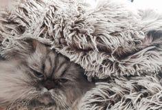 Cat. Persian Himalayan hidden hair Royalty Free Stock Photo