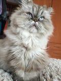 Cat. Persian Himalayan kitten blue Stock Photography