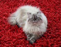 Cat. Persian Himalayan white red Stock Images