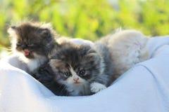 Cat. Persian kitten  outdoor Stock Photography