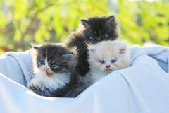 Cat. Persian kitten outdoor Royalty Free Stock Photos