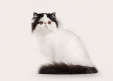 Cat. Persian kitten on white background Stock Photos