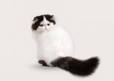 Cat. Persian kitten on white background Stock Images