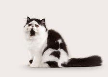 Cat. Persian kitten on white background Royalty Free Stock Photos