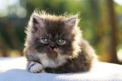 Cat. Persian cat outdoor Royalty Free Stock Photo