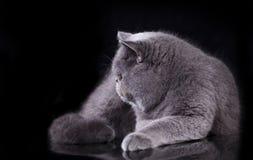 Cat Persian royalty free stock image