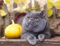 Cat Persian royalty free stock photography