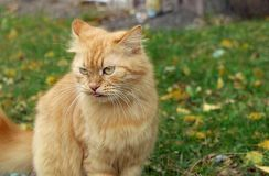 Gaze of a red cat royalty free stock photo