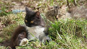The cat pet domestic lies on the grass licks the wool is washed Royalty Free Stock Photography