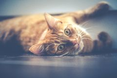 Cat, Pet, Lying, Red, Animal, Cute Royalty Free Stock Photos