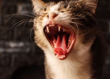 Cat. A pet. Successful shot. The cat yawned stock images
