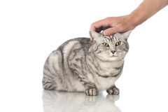 Cat is petted Royalty Free Stock Images