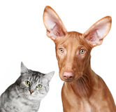 Cat and Pharaoh hound Royalty Free Stock Photo
